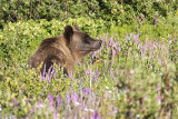 Mammals of Alberta