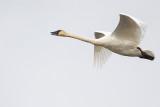 trumpeter swan 101720_MG_6379