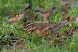 Redwing, Richmond Park, Glasgow