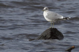 Common Gull, Strathclyde Loch, Clyde