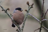 Bullfinch (female), Strathclyde Loch, Clyde