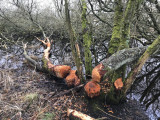 Beaver activity at RSPB Loch of Kinnordy