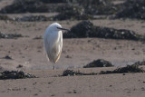 Little Egret, Dumbarton, Clyde