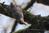 Nuthatch, Dalzell Woods-Motherwell, Clyde