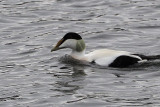 Common Eider, Cardwell Bay-Gourock, Clyde