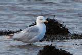 Herring Gull (leucistic), Parklea-Port Glasgow, Clyde