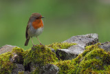 Robin, Longhaugh Point, Clyde