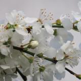 Blackthorn blossom, Cardowan Moss, Glasgow