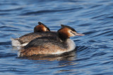 Great Crested Grebe pair, Hogganfield Loch, Glasgow