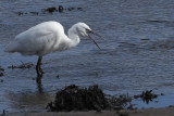 Little Egret, Gruggies Burn-Dumbarton, Clyde