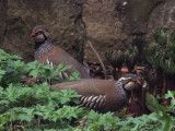 Red-legged Partridge, Brookhouse, S Yorkshire