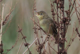 Grasshopper Warbler, Low Mains-Loch Lomond NNR, Clyde