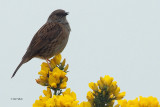 Dunnock, Ring Point-RSPB Loch Lomond, Clyde