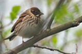 Reed Bunting, Ring Point-RSPB Loch Lomond, Clyde