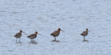 Black-tailed Godwits, Ring Point-RSPB Loch Lomond, CLyde