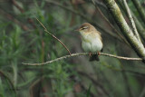 Willow Warbler, RSPB Loch Lomond, Clyde