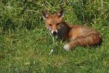 Fox, RSPB Baron's Haugh, Motherwell