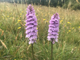 Common Spotted Orchid, RSPB Loch Lomond
