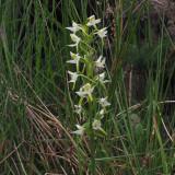 Butterfly Orchid, RSPB Loch Lomond