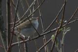 Greenish Warbler, Cunningsburgh, Shetland