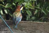 European Bee-eater, Ollaberry, Shetland