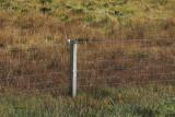 Isabelline (Daurian) Shrike, Levenwick, Shetland