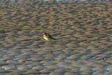 Lesser Sand Plover (Mongolian Plover)
