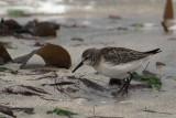 Semipalmated Sandpiper, Grutness, Shetland