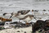 Semipalmated Sandpiper & Sanderling, Grutness, Shetland