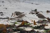 Semipalmated Sandpiper & Sanderling & Ring Plover, Grutness, Shetland