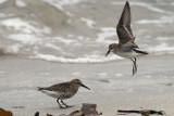 Semipalmated Sandpiper & Dunlin, Grutness, Shetland