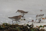 Semipalmated Sandpiper & Dunlin & Sanderling, Grutness, Shetland