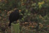 Blackbird, Sumburgh Head, Shetland