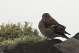 Chaffinch, Sumburgh Head, Shetland