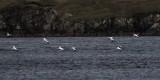 Gannet, Bluemull Sound, Shetland