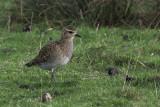 Golden Plover, Hillswick, Shetland