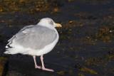 Herring Gull, Leebitten, Shetland