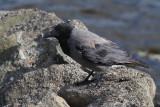 Hoodie Crow, Loch of Clickimin