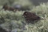Little Bunting, Sumburgh Head, Shetland