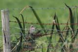 Red-backed Shrike, Cunningsburgh, Shetland