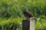 Red-backed Shrike, South Califf, Shetland
