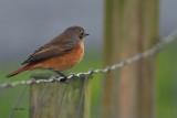 Redstart, Sumburgh, Shetland