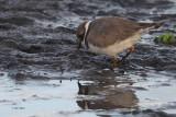 Ringed Plover, Hillswick, Shetland