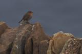 Robin, Sumburgh Head, Shetland