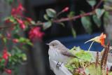 Spotted Flycatcher, Grutness, Shetland
