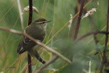 Yellow-browed Warbler, Quendale, Shetland