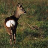 Roe Deer, RSPB Loch Lomond