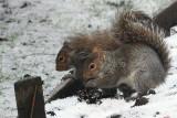 Grey Squirrels, Baillieston, Glasgow
