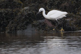 Little Egret, River Leven at Dumbarton Castle, Clyde