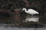 Little Egret & Redshank, River Leven at Dumbarton Castle, Clyde